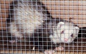 Flicker, son's ferret, 1995