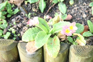 Primulas January 6th 2013