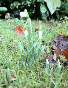 Snowdrops January 6th 2013