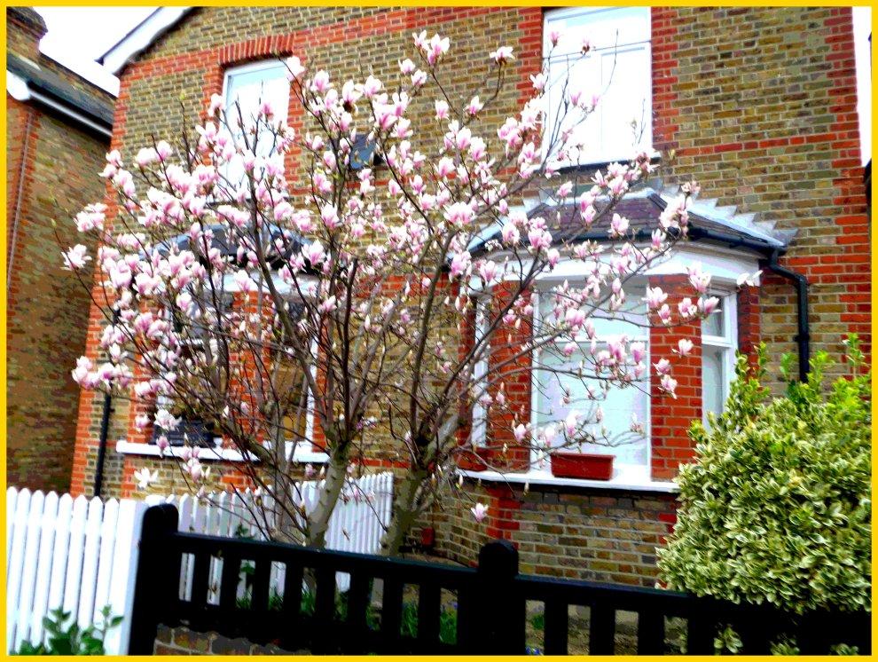 Magnolia in Surbiton