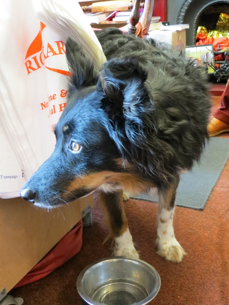 Tilly, the bookshop collie