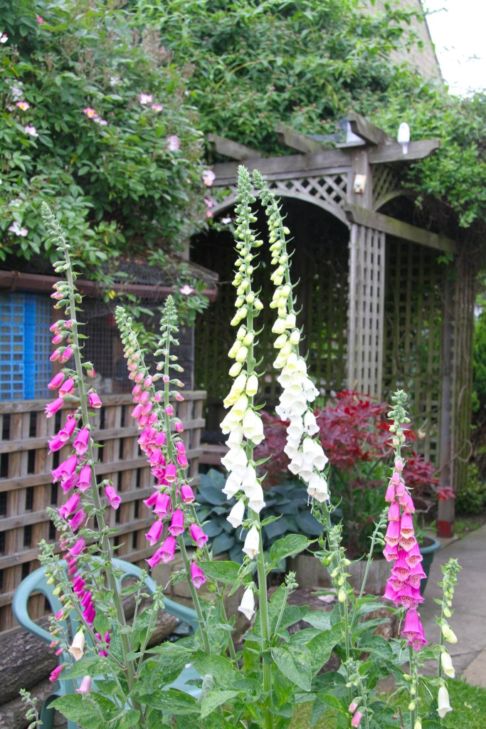 Digitalis, the foxglove