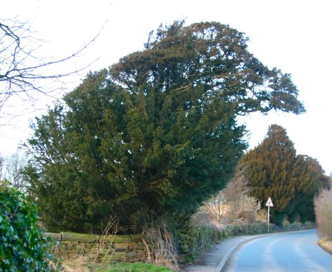 The yew, source of very poisonous seeds and leaves