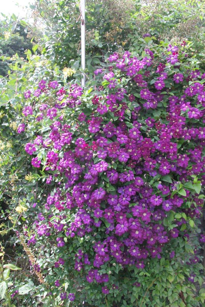 Clematis étoile violette
