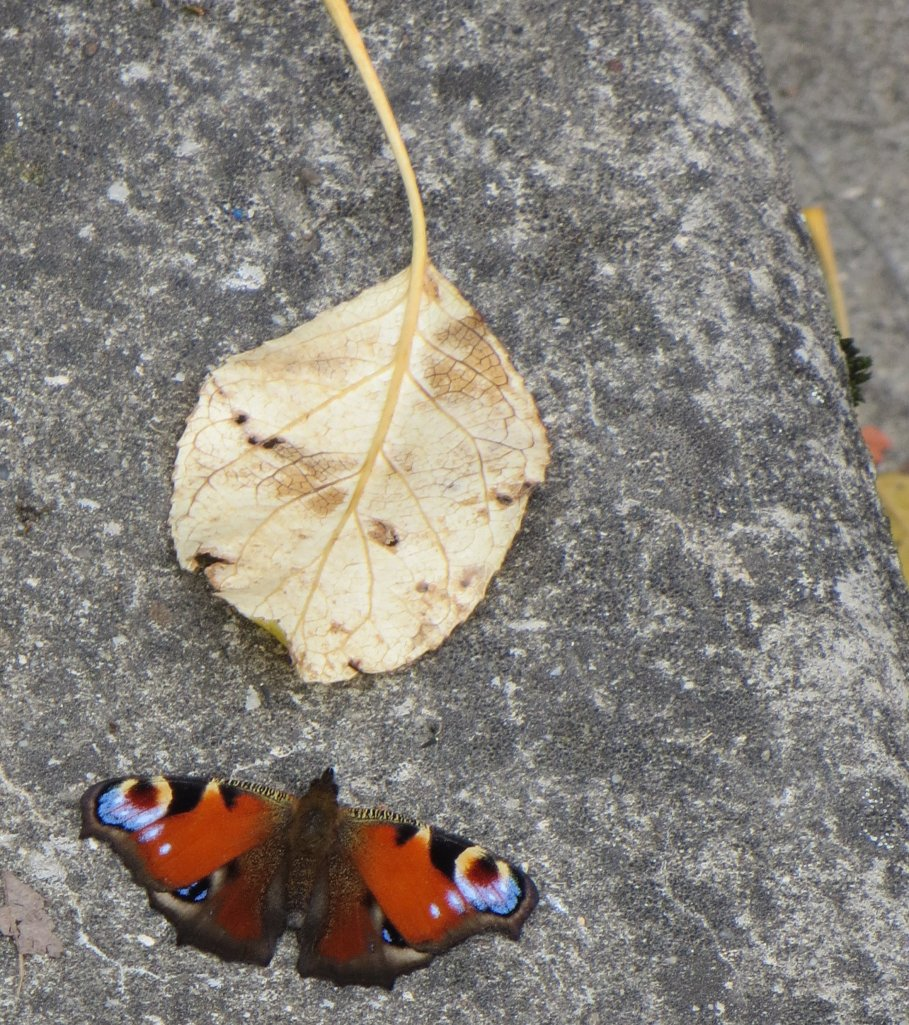 Peacock butterfly on the steps to the death chamber, Birkenau