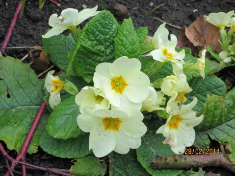 Way ahead of time, tucked in a sunny spot on a bank: primrose