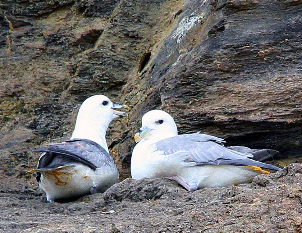 Fulmar on the cliffs