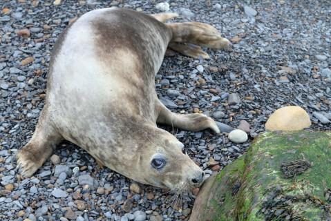 Seal pup, Ravenscar