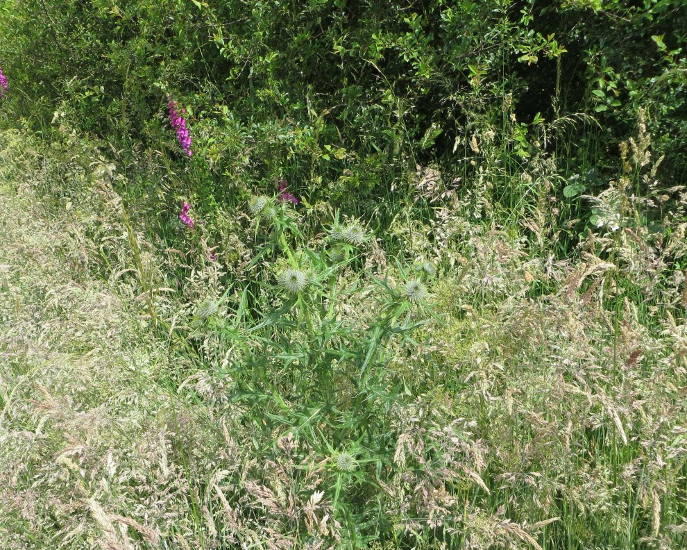 Spear thistle amidst a medley of grasses