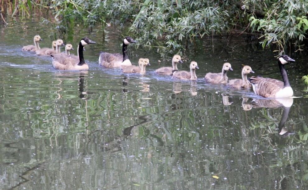 Canada goose creche