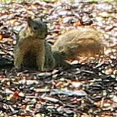 Ann Arbor squirrel