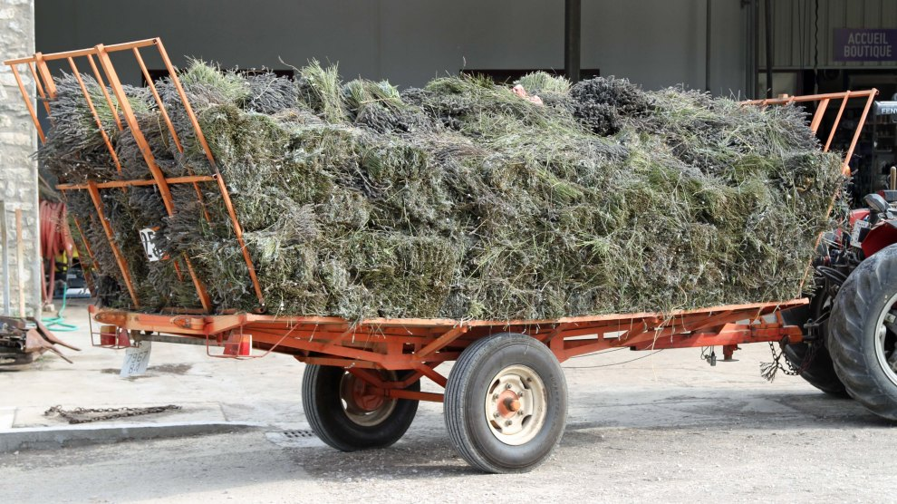 A load of lavender
