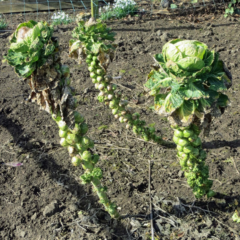 The last of the Brussels sprouts